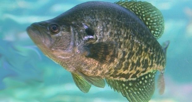 What kinds of technique are required to catch crappie fishes?