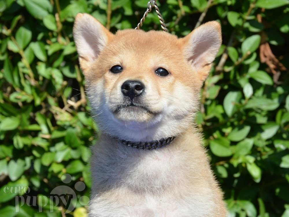 Grooming Activity For Shiba Inu Puppies
